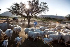 SHEEP RANCHING still takes place over much of the Navajo Nation. (Photo by Ryan Heffernan)